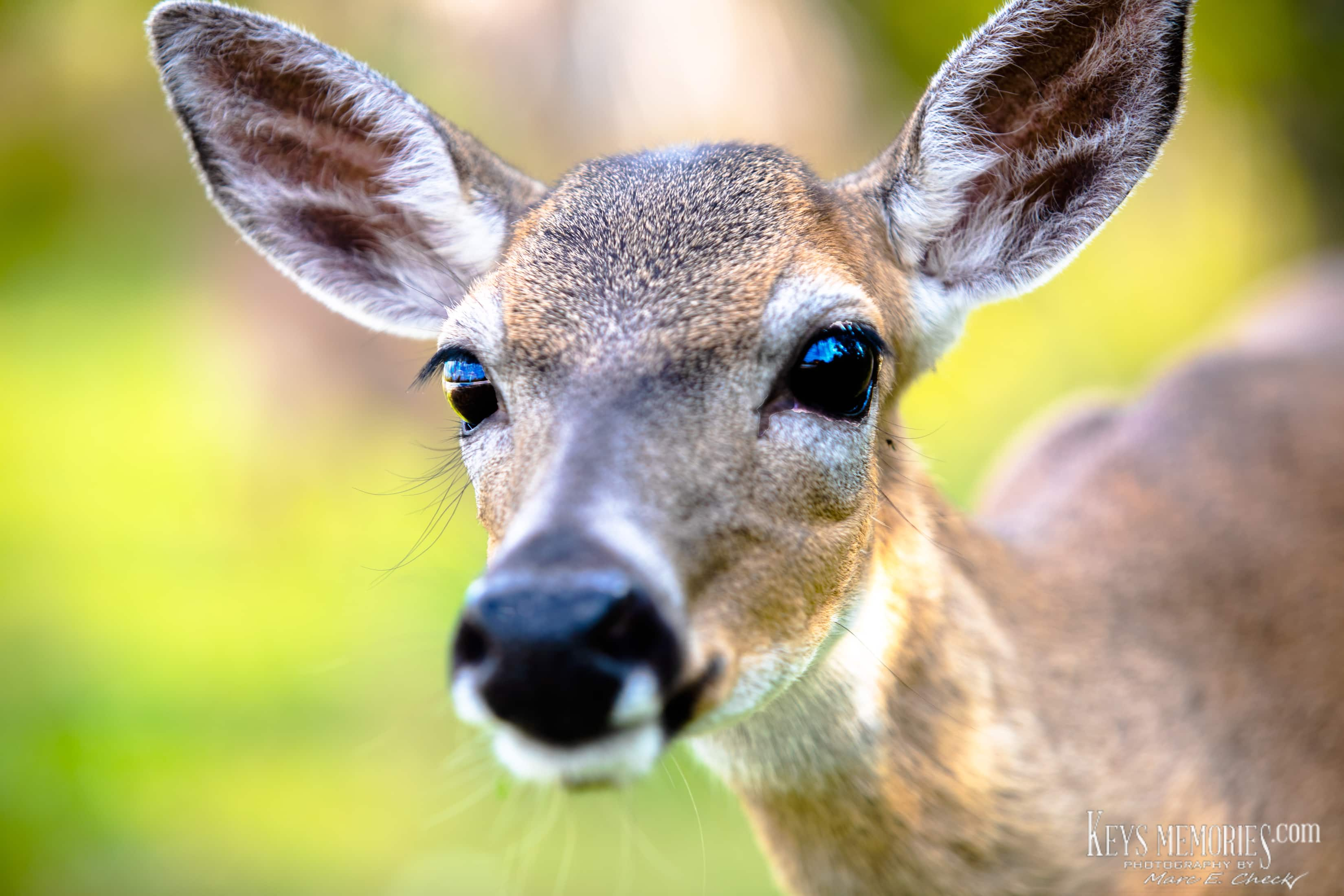 Florida Keys Deer